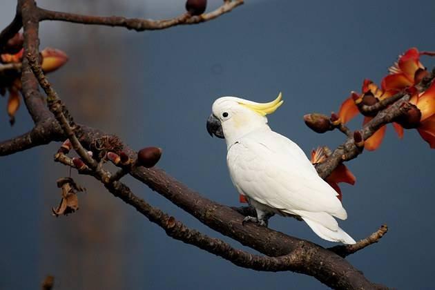 葵花凤头鹦鹉怎么养?葵花凤头鹦鹉饲养方法